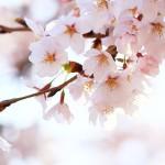 京都嵐山の桜名所6選を巡るコースとおすすめグルメ情報!
