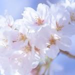 京都東山の桜の名所6選の散策コースとおすすめグルメ情報!