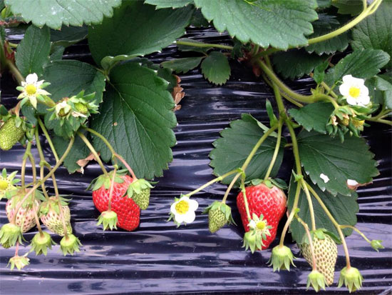 hyo st0011 兵庫県で人気のイチゴ狩りが楽しめるおすすめ農園8選!