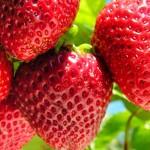 兵庫県で人気のイチゴ狩りが楽しめるおすすめ農園8選!
