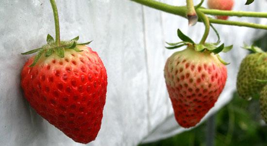 hyogo ichi01 兵庫県で人気のイチゴ狩りが楽しめるおすすめ農園8選!