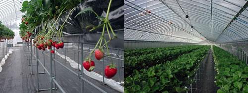 hyogo ichi02 兵庫県で人気のイチゴ狩りが楽しめるおすすめ農園8選!