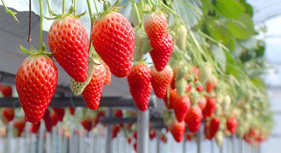 hyogo ichi07 兵庫県で人気のイチゴ狩りが楽しめるおすすめ農園8選!