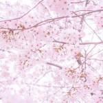 関西で外せない桜の名所7選とおすすめカフェやレストラン情報!