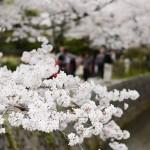 京都岡崎エリアの桜の名所5選を巡るコースとおすすめグルメ情報!