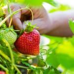 大阪のイチゴ狩りで食べ放題が出来るおすすめ農園9選!