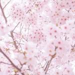 福島の桜の名所6選とおすすめグルメ情報!ライトアップ情報も!
