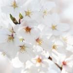 兵庫県で駅近の桜の名所6選とおすすめグルメ情報!