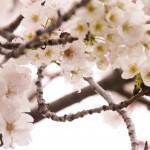 九州の桜の名所おすすめ7選とグルメ&温泉情報!