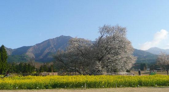 kyusyu sa01 九州の桜の名所おすすめ7選とグルメ&温泉情報!