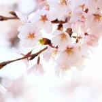 滋賀の桜名所6選とおすすめカフェ情報!琵琶湖を眺めながらの絶景カフェも!