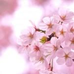 和歌山の桜の名所6選と近場のおすすめ温泉情報!