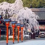 平野神社の桜の見ごろやライトアップとおすすめカフェ&レストラン5選!