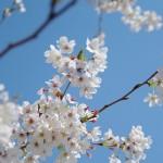 関東の桜の名所おすすめ9選!夜桜が楽しめるライトアップ情報も!