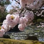 京都二条城の桜の見頃やライトアップとおすすめカフェ&レストラン5選!