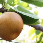 関西の梨狩りで食べ放題が楽しめるおすすめ農園8選!