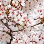 京都で桜を見ながら食事が楽しめるレストランおすすめ7選!