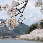 海津大崎の桜の見ごろは?アクセス方法やクルーズ船、ランチ&カフェ情報もご紹介!琵琶湖一の絶景!