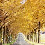 メタセコイア並木の見ごろは?春夏秋冬別の絶景が見れる時期を紹介!