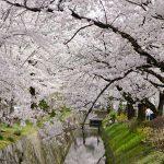 哲学の道の桜の見頃は?アクセス方法やおすすめカフェ情報もご紹介!